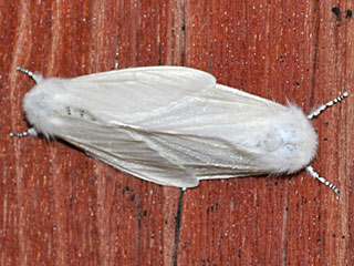 Leucoma salicis Pappel-Trägspinner White Satin Moth
