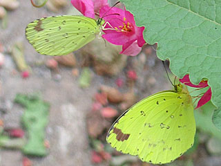 Eurema hecabe  Large Grass Yellow