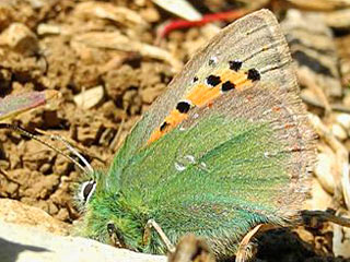 Tomares ballus  Provence Hairstreak
